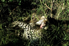 Leopard...after eat.