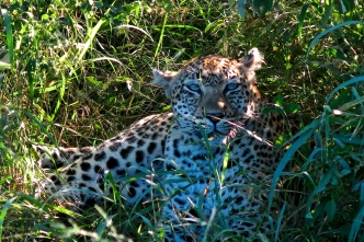Same leopard getting rest.